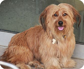 Dachshund/Yorkie, Yorkshire Terrier Mix Dog for adoption in Allentown, Pennsylvania - Tina Louise