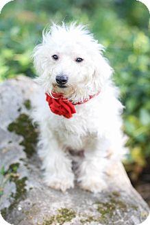 Poodle (Miniature)/Maltese Mix Dog for adoption in Auburn, California - Princess Anna