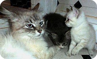 Siamese Cat for adoption in Las Cruces, New Mexico - Lorelei