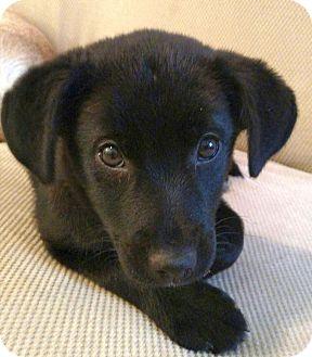 Labrador Retriever/Terrier (Unknown Type, Medium) Mix Puppy for adoption in Knoxville, Tennessee - McKinlay