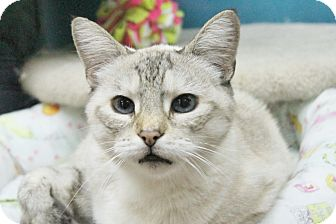 Siamese Cat for adoption in Benbrook, Texas - Dribbles
