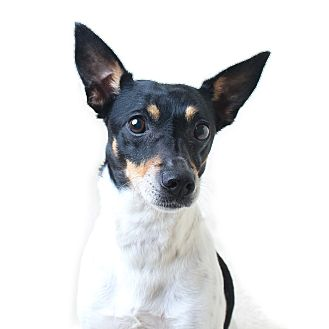 Jack Russell Terrier Mix Dog for adoption in Wilmington, Delaware - Speckles