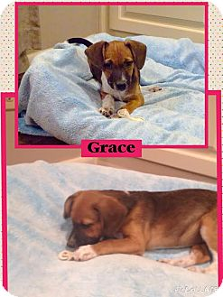 Chihuahua Mix Puppy for adoption in East Hartford, Connecticut - Grace-pending adoption