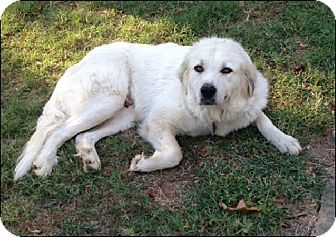 Great Pyrenees Dog for adoption in Somers, Connecticut - Delilah