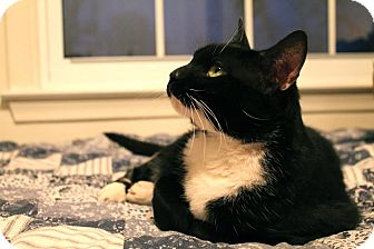 Domestic Shorthair Cat for adoption in Ortonville, Michigan - Fancy