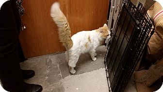 Domestic Longhair Cat for adoption in East Hartford, Connecticut - Rooster (in CT)