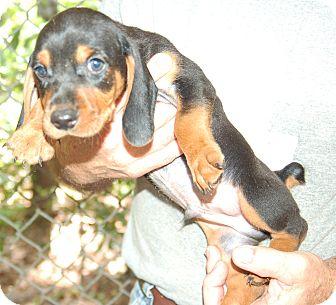 Basset Hound/Beagle Mix Puppy for adoption in Hammonton, New Jersey - boss