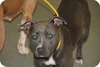 Pit Bull Terrier Mix Dog for adoption in Greensboro, North Carolina - Lena