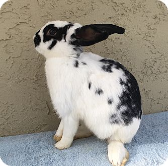 Lionhead for adoption in Bonita, California - Landis boy