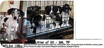 Terrier (Unknown Type, Small) Mix Puppy for adoption in Danbury, Connecticut - Matt