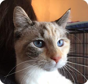 Siamese Cat for adoption in Meridian, Idaho - Guppy