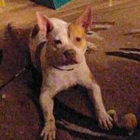 Adopt A Pet :: Babe - Sweet Pup! - New Hartford, NY