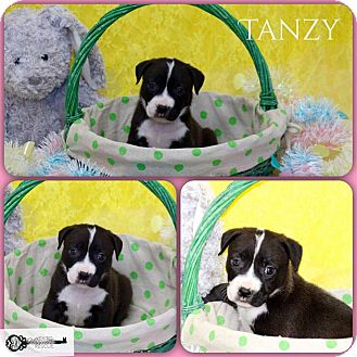 American Pit Bull Terrier Mix Puppy for adoption in DeForest, Wisconsin - Tanzy