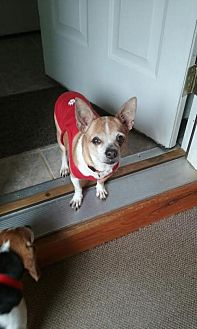 Chihuahua Dog for adoption in Willingboro, New Jersey - Chelcey