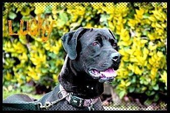 Great Dane Mix Dog for adoption in Fremont, California - LUCKY