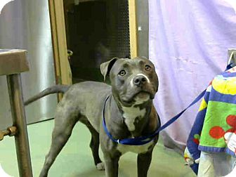 Pit Bull Terrier Mix Dog for adoption in San Bernardino, California - URGENT on 6/19@DEVORE San Bern