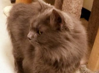 Domestic Longhair/Domestic Shorthair Mix Cat for adoption in Bolingbrook, Illinois - Nigel