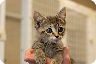 Domestic Shorthair Kitten for adoption in Nashville, Tennessee - Donut