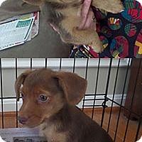 Australian Shepherd Mix Puppy for adoption in Chantilly, Virginia - Bo