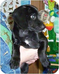 Terrier (Unknown Type, Small)/Dachshund Mix Puppy for adoption in Murphysboro, Illinois - Meg