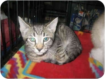 American Shorthair Kitten for adoption in Little Falls, New Jersey - Toby (AR)