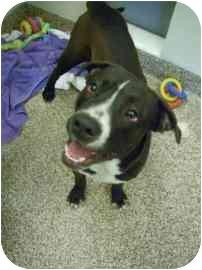 American Bulldog Mix Dog for adoption in North Charleston, South Carolina - Thoro