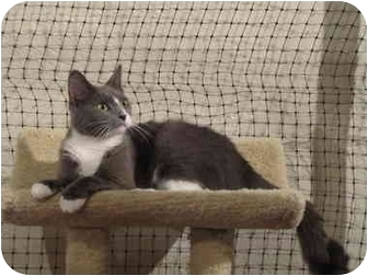 American Shorthair Cat for adoption in Alexandria, Virginia - Katrina