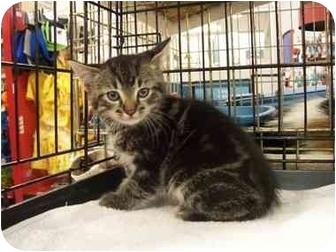 Domestic Shorthair Kitten for adoption in Frenchtown, New Jersey - Sebastian