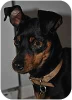 Miniature Pinscher Dog for adoption in Minneapolis, Minnesota - Tavi