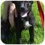 Photo 2 - Labrador Retriever/Shepherd (Unknown Type) Mix Puppy for adoption in Somerset, Pennsylvania - Bella