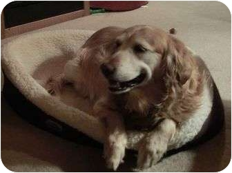 Golden Retriever Dog for adoption in Denver, Colorado - Moly