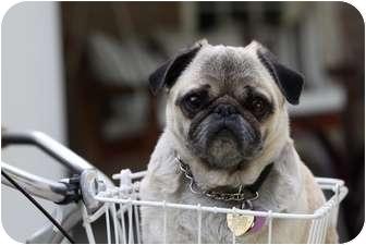 Pug Dog for adoption in Los Angeles, California - WINSTON