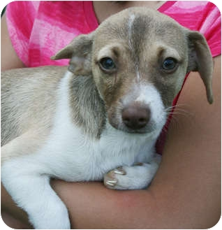 Chihuahua/Dachshund Mix Puppy for adoption in Hagerstown, Maryland - Bubba