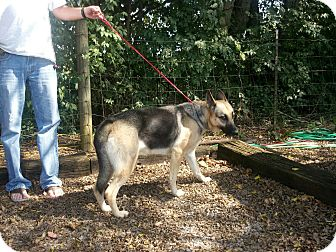 German Shepherd Dog Dog for adoption in Greeneville, Tennessee - Shelby