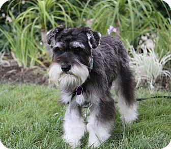 Schnauzer (Miniature) Mix Dog for adoption in Newport Beach, California - CONNIE