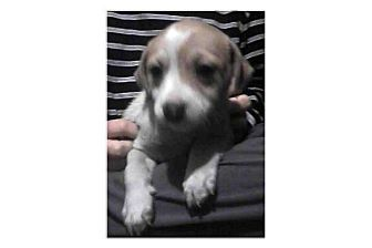 Jack Russell Terrier/Terrier (Unknown Type, Small) Mix Puppy for adoption in Pompton Lakes, New Jersey - Robin