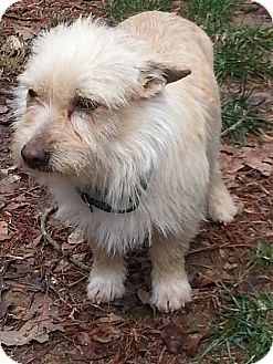 Cairn Terrier/Terrier (Unknown Type, Small) Mix Dog for adoption in Spring Valley, New York - Mikey