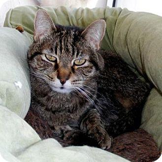 Domestic Shorthair Cat for adoption in Denver, Colorado - Spunky