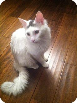 Turkish Angora Cat for adoption in Arlington, Virginia - Freddy (Adoption Pending)