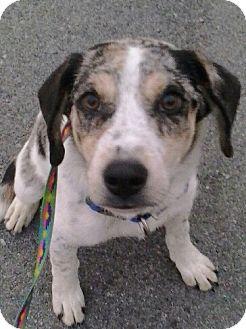 Australian Shepherd/Hound (Unknown Type) Mix Puppy for adoption in Reno, Nevada - Gawain