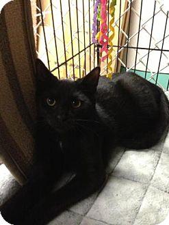 Domestic Shorthair Kitten for adoption in Garwood, New Jersey - Samson