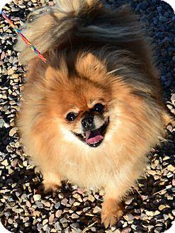 Pomeranian Mix Dog for adoption in Fruit Heights, Utah - King