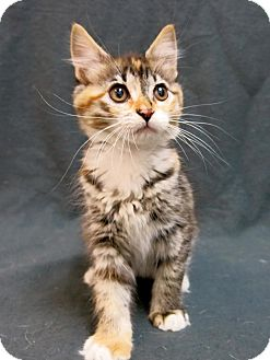 Domestic Mediumhair Kitten for adoption in Lufkin, Texas - Lilo