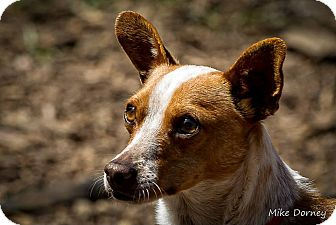 Basenji/Chihuahua Mix Dog for adoption in Westminster, California - Randy