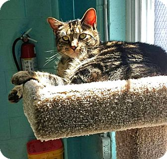 Domestic Shorthair Cat for adoption in Union, New Jersey - Thunder