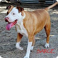 Adopt A Pet :: Sarge - Silsbee, TX