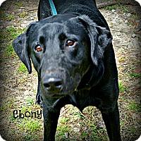 Adopt A Pet :: Ebony - Vancleave, MS