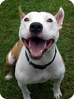 Pharaoh Hound/Pit Bull Terrier Mix Dog for adoption in Baton Rouge, Louisiana - Sophie