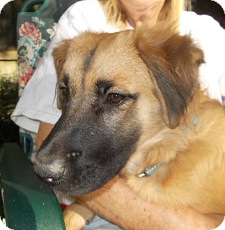 Golden Retriever/German Shepherd Dog Mix Puppy for adoption in Memphis, Tennessee - Belle