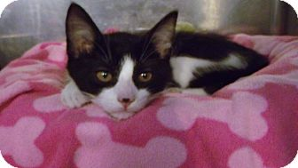 "Domestic Shorthair Kitten for adoption in Muskegon, Michigan - ""Purr""man Munster"